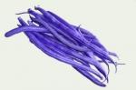 Fasola szparagowa karłowa fioletowostrąkowa