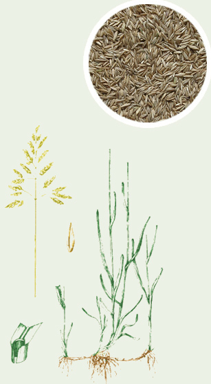 Wiechlina łąkowa